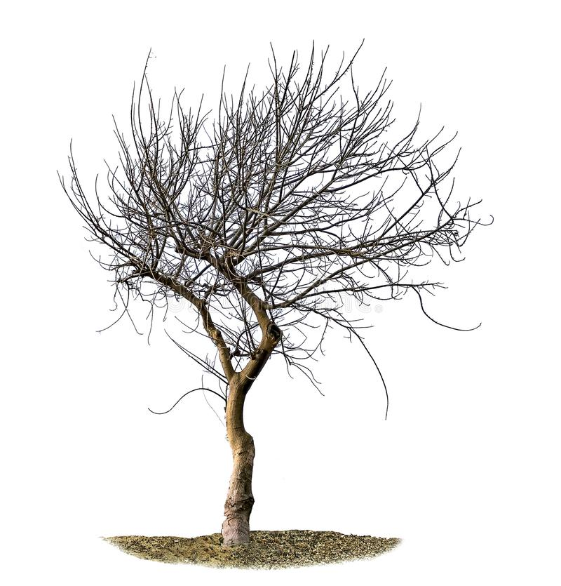 Dry tree isolated on white stock photo