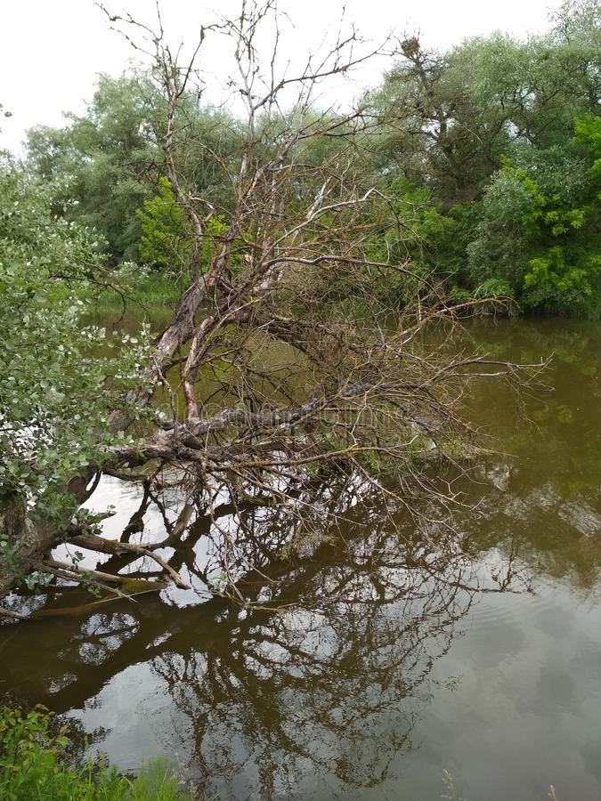 Dry tree lies in the water of the river. Vertical photo.  stock images