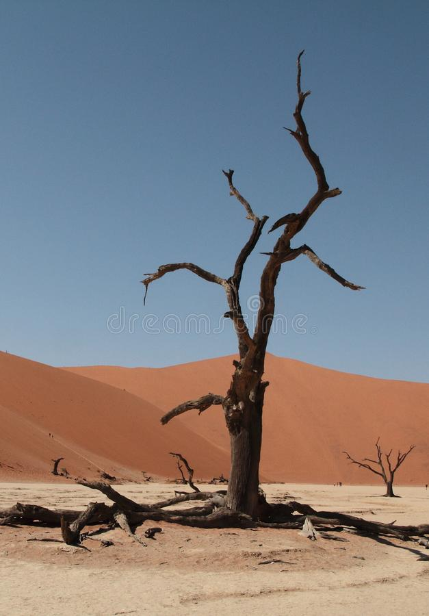 Wallpaper. Dry tree in the Namib desert. Sossusvlei. Dry tree in the Namib desert, in Namibia, Africa. The tree is in Lake Sussusvlei, which floods during the royalty free stock photo