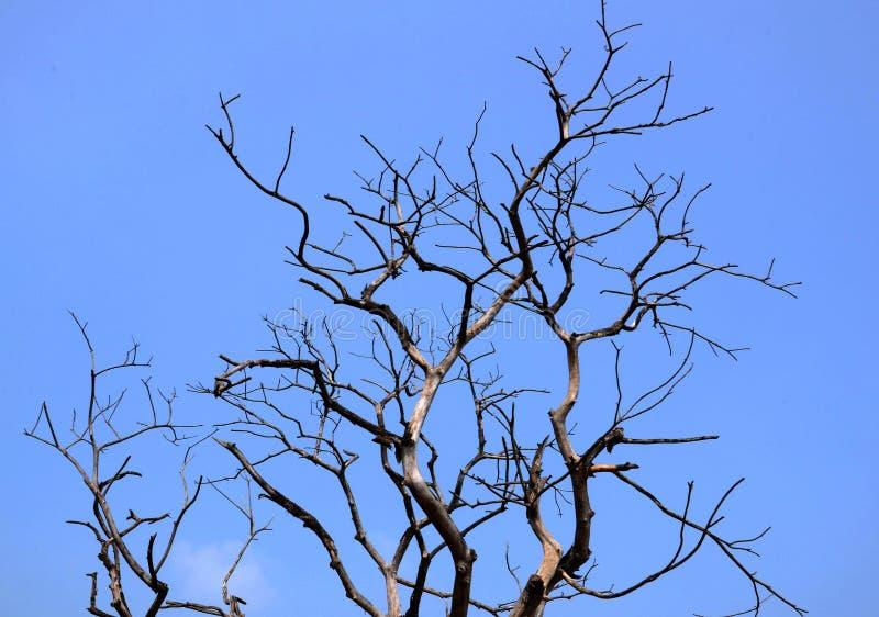 Dry Tree. Older Dry tree on blue sky stock image