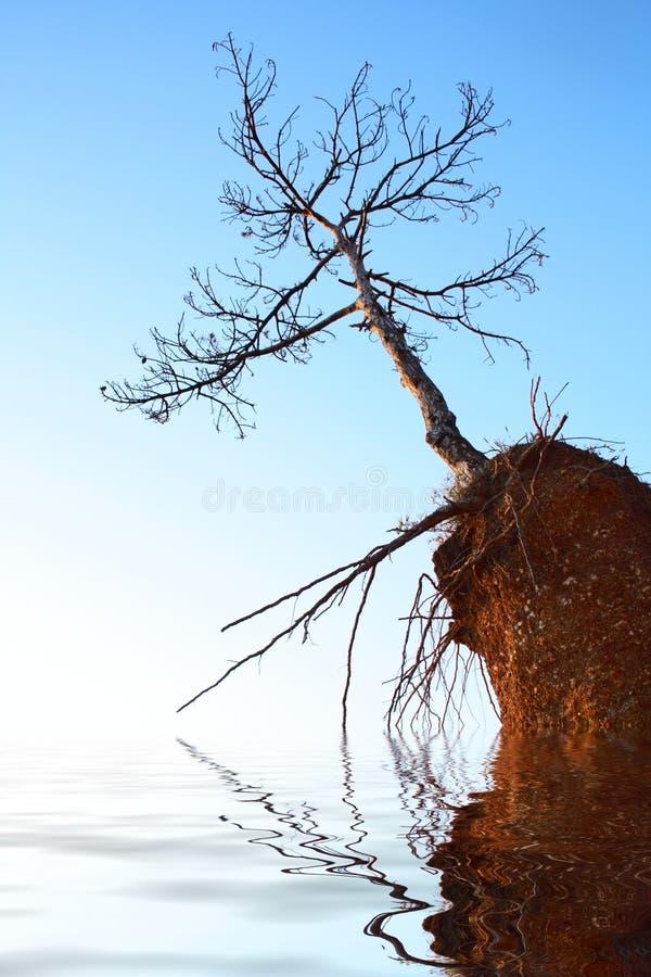 Dry Tree On Rock Stock Photography