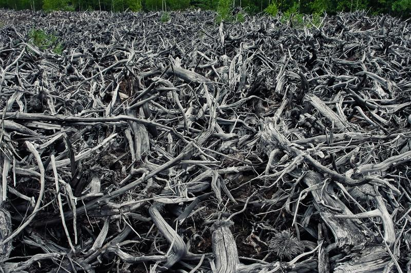 Dry tree roots royalty free stock image