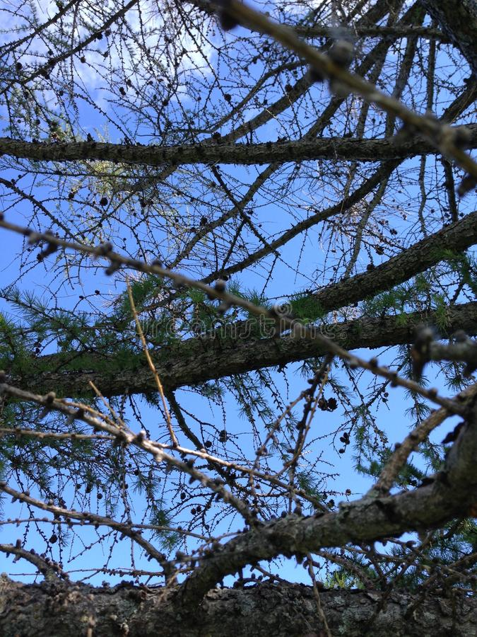 Dry tree on sky background royalty free stock photo