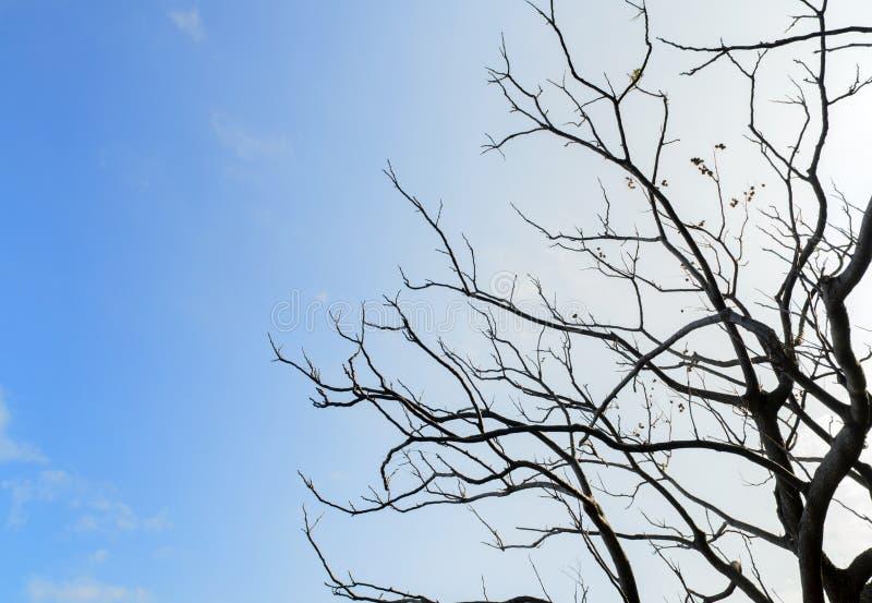 Dry tree under blue sky royalty free stock photography