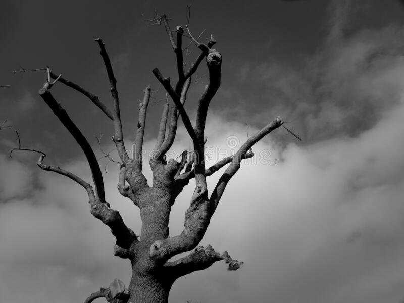 Dry Tree Under A Blue Sky With White Clouds stock photo