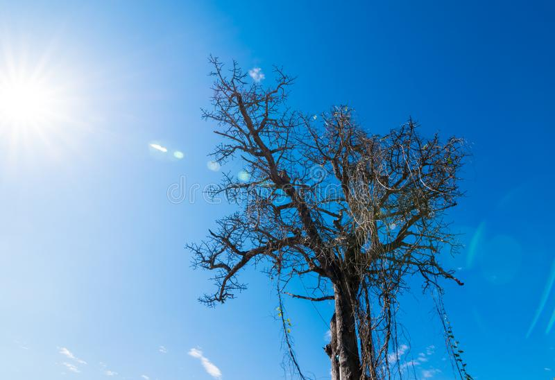 Dry trees die and sun burns with drought. Tree die in the blue sky. Branches of dry wood boiler. Leafless trees with blue sky background. Hot weather and stock photography