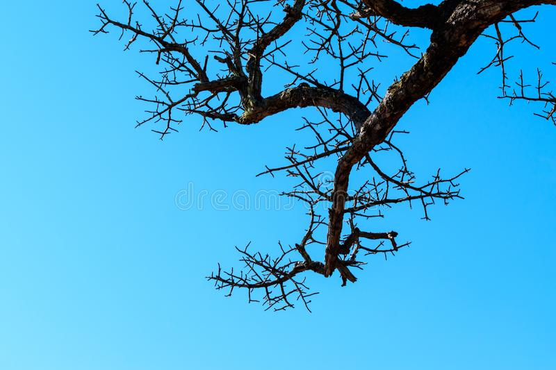 Dry trees die and sun burns with drought. Tree die in the blue sky. Branches of dry wood boiler. Leafless trees with blue sky background. Hot weather and stock photos