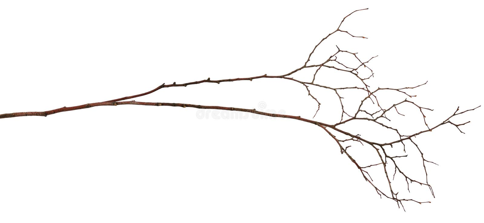 Dry twig. Isolated on white stock photography