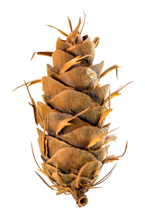 Dry unusual cedar pine cones is isolated white background, close. Up royalty free stock image