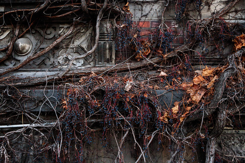 Dry vine waiting for spring warmth entwine the old stone wall with window stock images