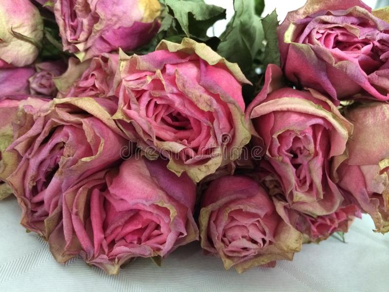 Dry vintage roses royalty free stock photography