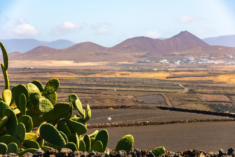 Dry volcanic ccultivated fields and cactus Lanzarote island Spain royalty free stock image