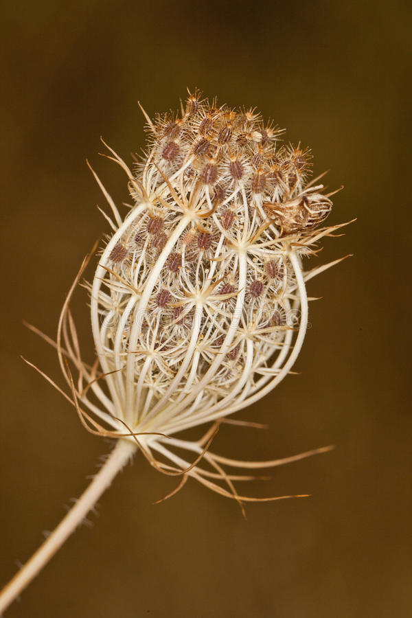Dry wild carrot plant stock image