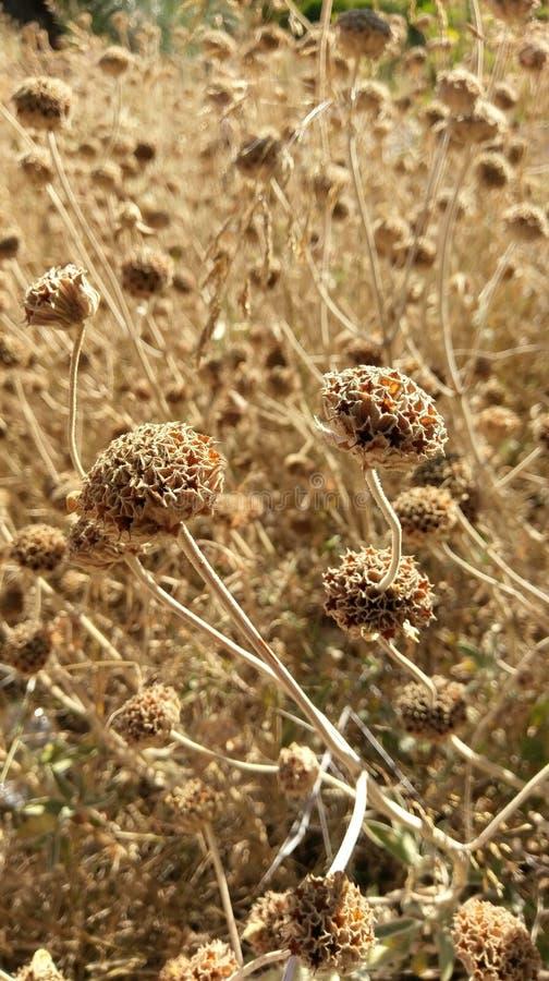Dry wildflowers in field, Kalamos Island, Greece royalty free stock photo