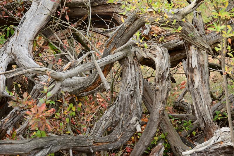 Dry as bone. Dry wood, twisted and curved, lousy for building, but ideal for making fire royalty free stock images
