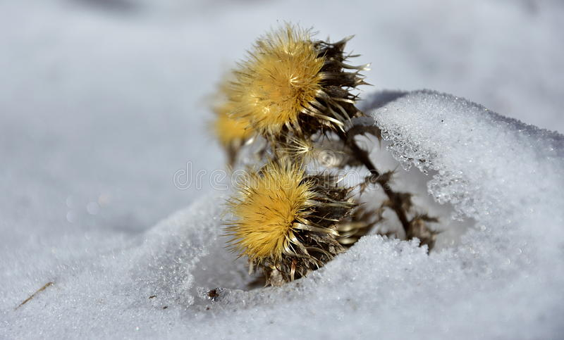 Download Dry Yellow Flower In The Snow Stock Photo - Image of yellow, snow: 84764070