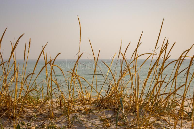 Dry yellow grass in dune against calm sea. Seaside background. Tall reed on sand beach. Seascape on sunset. Grass on beach against ocean horizon royalty free stock image
