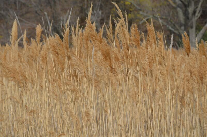 Dry yellow grass - reeds. Desktop Wallpaper. Autumn landscape. A lot of reeds royalty free stock image