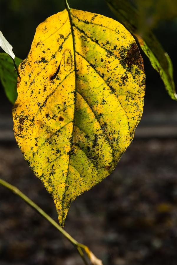 Dry yellow leaf. Dry bring yellow color foilage from spring season stock image