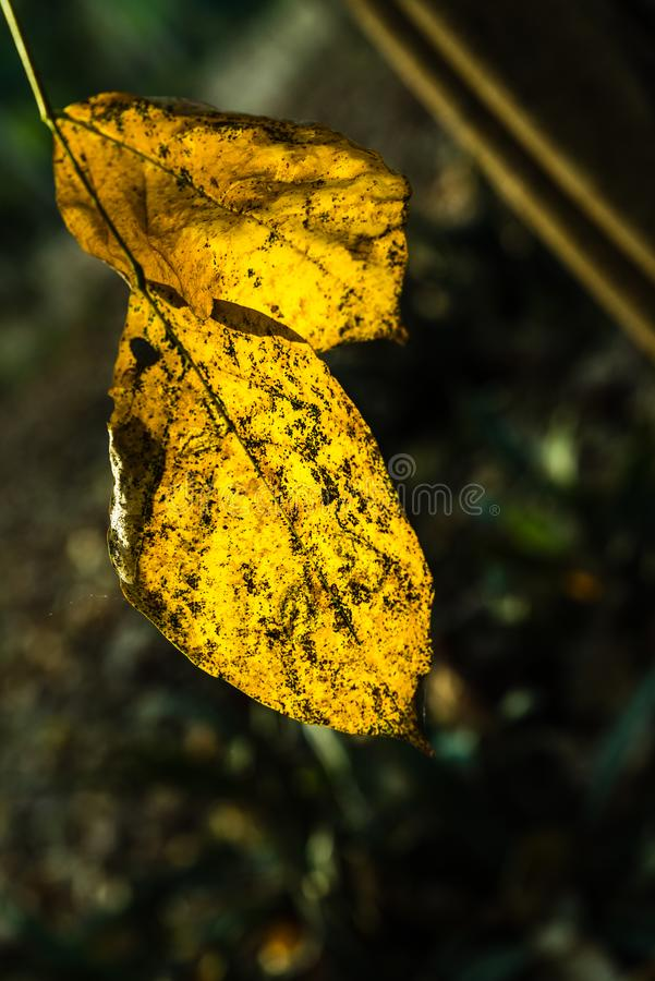 Dry yellow leaf. Dry bring yellow color foilage from spring season stock photography