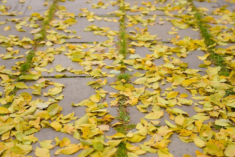 Dry yellow leaves lie on the pavement. Tiles royalty free stock images