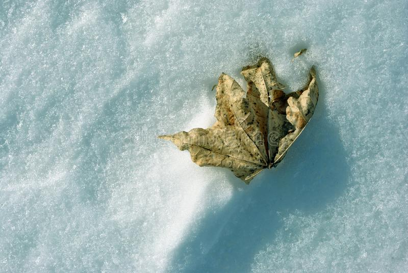 Dry yellow maple leaf frozen in snow surface royalty free stock image