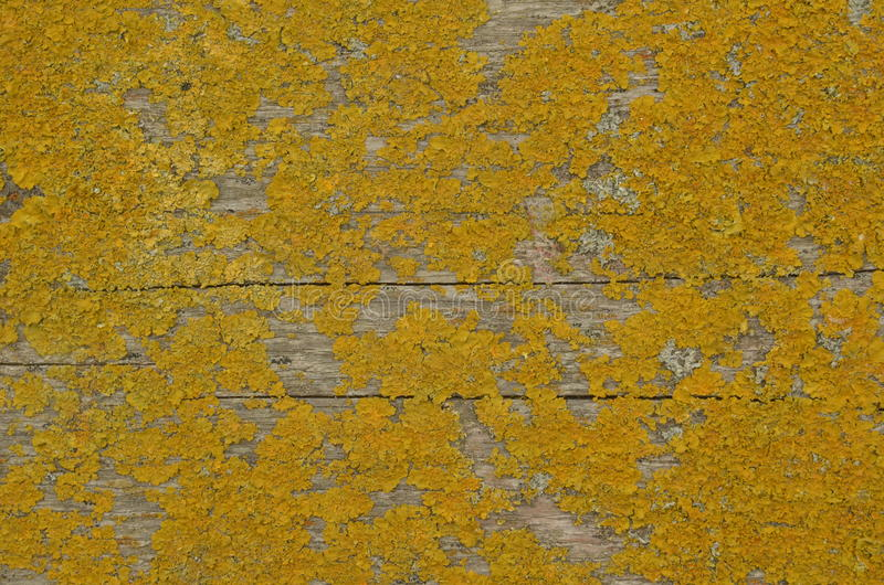Dry yellow moss on wood royalty free stock image