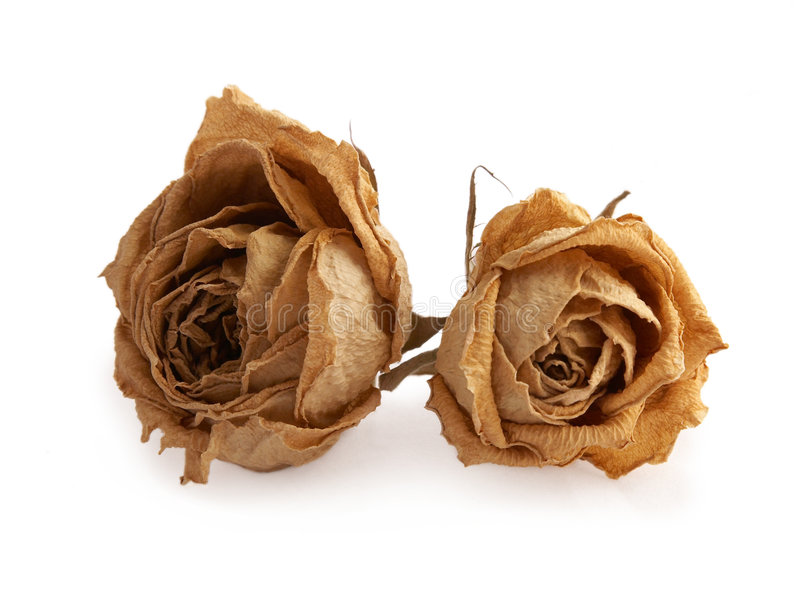 Dry yellow roses. Isolated on white background stock photo