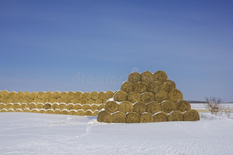 Dry yellow round haystacks lie in rows under white snow in winter in the shape of a triangle against the background of a clear royalty free stock images