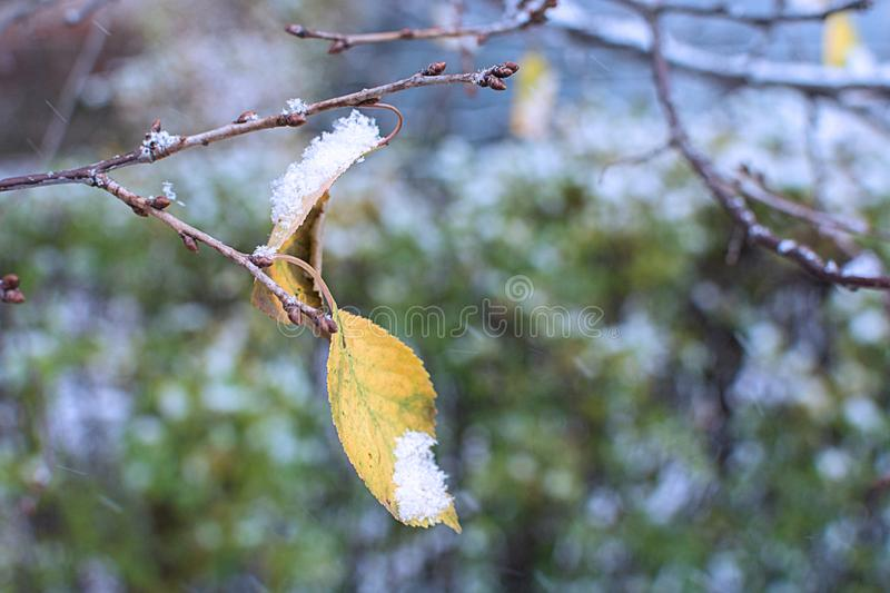 Dry yellow sheet hangs on a branch and snow-capped stock photography