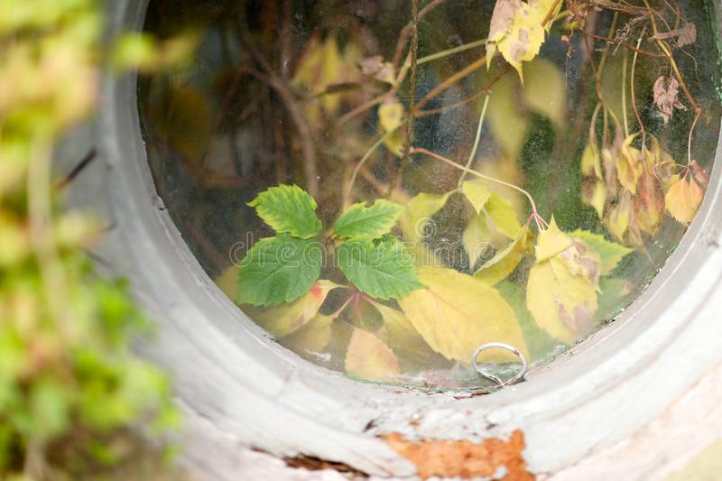 Dry yellow and sluggish leaves of wild grapes. Behind the round window of an old house stock photography