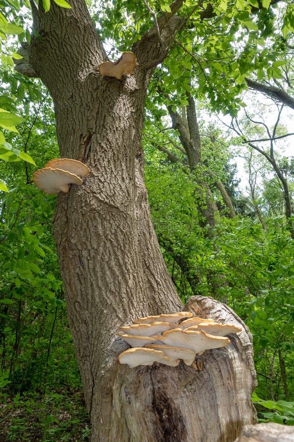Dryad`s Saddle Polyporus squamosus, Fungi On A Tree Trunk royalty free stock photo