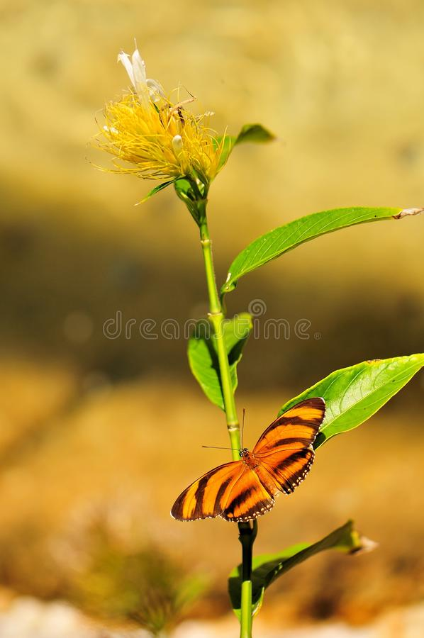 Dryadula Phaetusa Butterfly Stock Photo