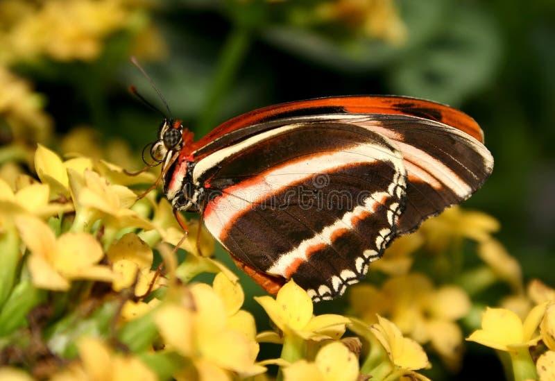 dryadula phaetusa motyla obraz stock