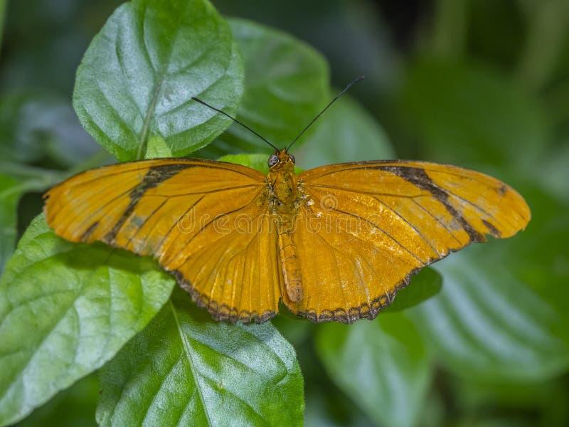 Dryas iulia, Julia-Schmetterling stockfoto