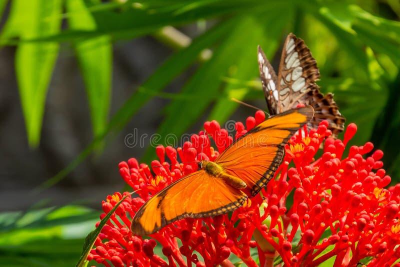 A Dryas iulia Oranje passiebloemvlinder in the butterfly Garden of the Zoo Wildlands, Emmen, Netherlands.  royalty free stock images