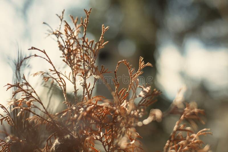 Dryed bush еwigs on the sunlight stock image
