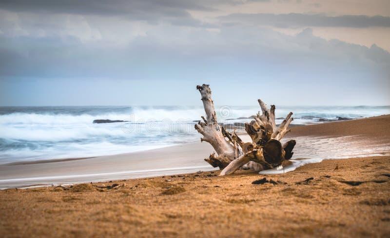 Dryftowy drewno przeciw morzu zdjęcia royalty free