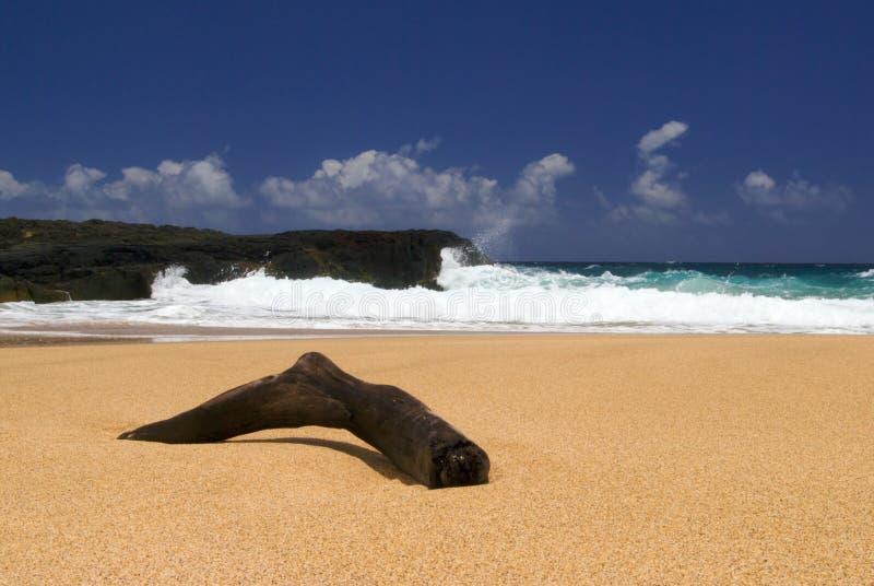 dryftowy plażowy drewna obrazy stock