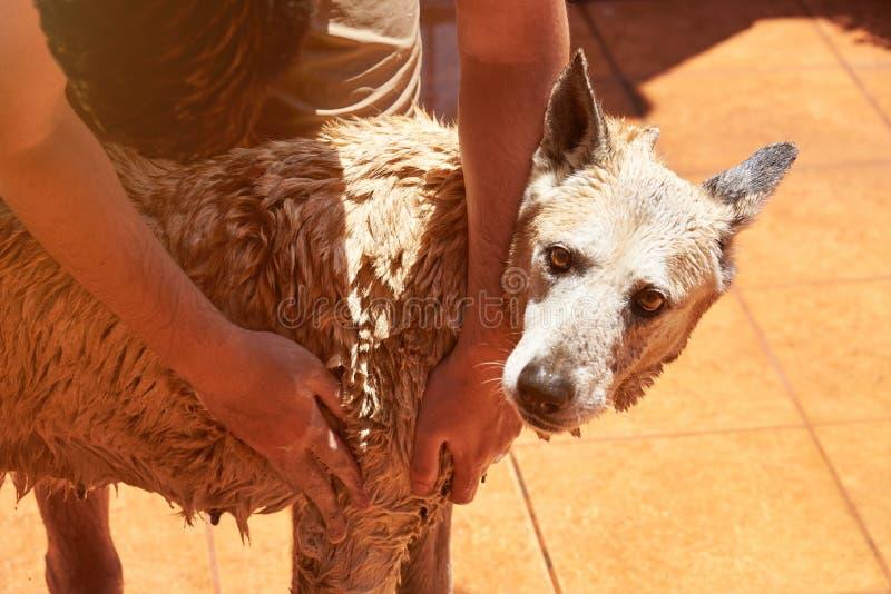 Drying brown big dog royalty free stock photos