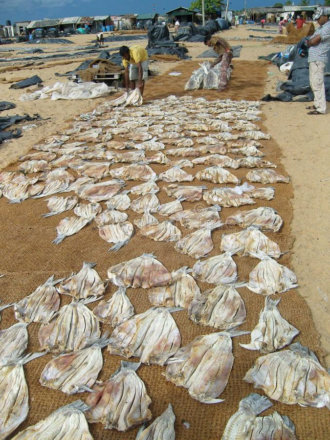 Drying caught fish on the beach stock photography