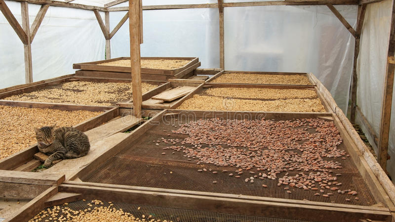 Drying of cocoa and coffee beans, Sao Tome royalty free stock image
