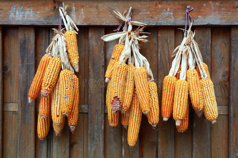 Drying Corn Cobs II Stock Images