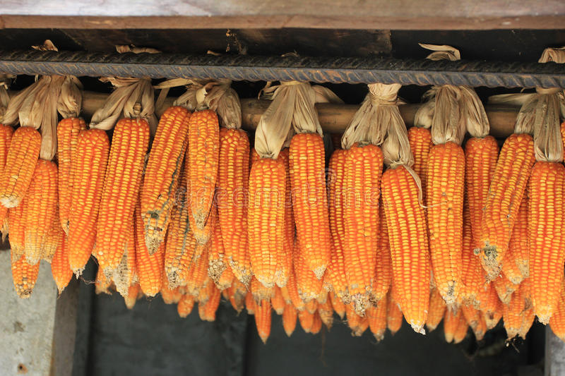 Drying corn in East asia village. Drying corn in a village located within the jungle forest of Chiang Mai province , Thaïland, East Asia. Represents the royalty free stock photography