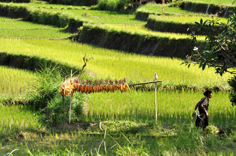 Drying corn in a rice field stock photography