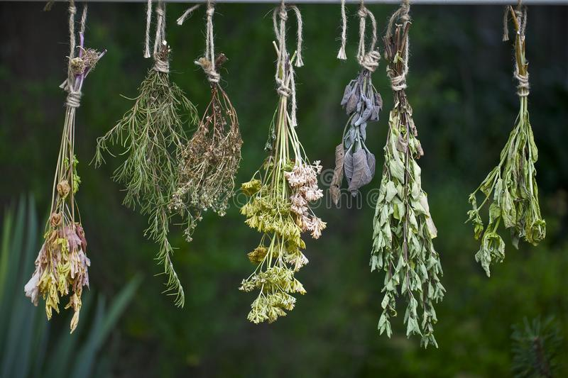 Drying fresh herbs stock photography