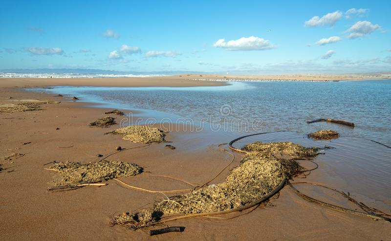 Drying Kelp and sea grass at the Santa Maria river estuary at Rancho Guadalupe Sand Dunes in Central California USA. Drying Kelp and seagrass on narrow strip of royalty free stock photography