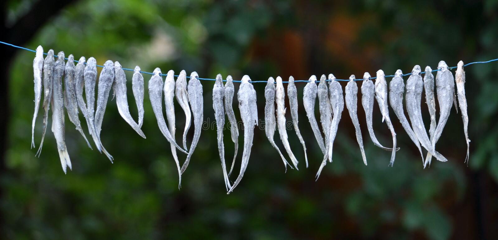 Drying of small fish on a cord royalty free stock photos