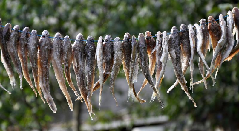 Drying of small fish on a cord royalty free stock image