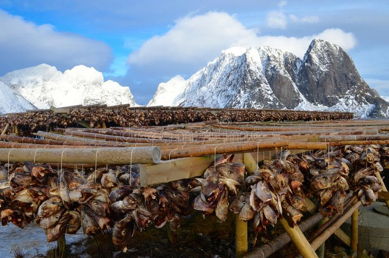 Drying of stockfish on Lofoten islands, Norway royalty free stock images